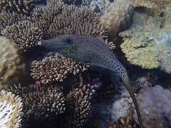 Poisson lime gribouill - Veligandu Beyru (Valerie Hukalo) Tags: coral asia indianocean snorkeling asie reef maldives filefish underwaterphotography corail veligandu rcif ocanindien rasdhooatoll photographiesousmarine poissonlime veligandubeyru photographieaquatique