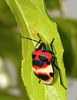 Camellia Shield Bug or Tea Seed Bug (Poecilocoris latus, Scutelleridae) (John Horstman (itchydogimages, SINOBUG)) Tags: china red macro true bug insect tea shield camellia yunnan hemiptera scutelleridae camelliashieldbug itchydogimages sinobug