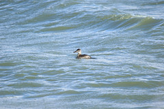 8F9A1257.jpg (ericvdb) Tags: bird duck muskegon ruddyduck wastewaterplant