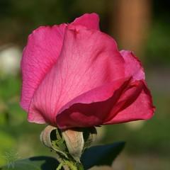 Una rosa es una rosa (Shutter_Hand) Tags: usa flower macro fleur flora texas sony flor jardin botanico blomma alpha 花 blume fiore secretgarden çiçek weatherford 꽃 kukka цветок mineralwells botanicalpark jardinbotánico jardinsecreto parquebotánico a99 फूल clarkgardens texasgem texasjewel sonyaf100mmf28macro miguelmendozamuñoz sonyalphaa99 slta99