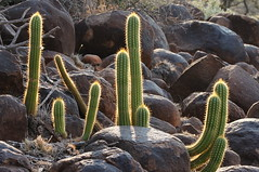 Cactus (tim ellis) Tags: cactus holiday plant southafrica kimberley suculent northerncape langbergguestfarm raremammals