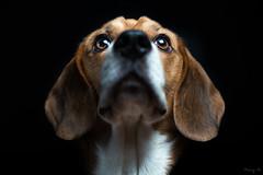 Lou (Tony N.) Tags: portrait dog chien beagle face animal ears softbox reflector oreilles fondnoir animaldecompagnie reflecteur nikkor50mm14 sb28 d810 tonyn softbox60x60 tonynunkovics
