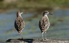 Ruff-Philomachus pugnax. (PANDOOZY PHOTOS) Tags: two bird nature water birds adult wildlife pair juvenile ruff waders wader charadriiformes philomachuspugnax scolopacidae