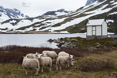 Sheeps in Norway. (PabloMenndez) Tags: trip travel winter summer house lake snow mountains color ice nature water field animals norway clouds landscape amazing photographer looking cloudy glacier fjord sheeps
