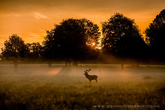 Richmond Park (iesphotography) Tags: park uk wild tree london nature beauty animal canon amazing cool background wildlife norfolk richmondpark outstanding naturephotography rutting wildlifephotography ukweather ukwildlife 1dx natureimage canon1dx countrysidestunning