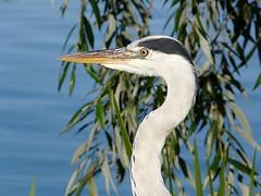 heron (stanama56) Tags: heron birds tiere natur vgel reiher