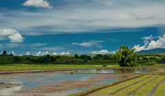 DSC_2938 (TheHouseKeeper) Tags: sky field clouds landscape rice land agriculture ricefield mateo palay agri thehousekeeper georgemateo
