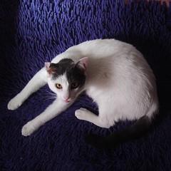gatto in blu (archifra -francesco de vincenzi-) Tags: blue cat square chat blu bleu gato katze blau 猫 gatto titti carré micio bleau кот tappeto γάτα archifraisernia francescodevincenzi