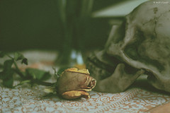 Our love is dead* (Wolf's kurai) Tags: wolfskurai canon photography stilllife vanitas roses death love skul languageofflowers