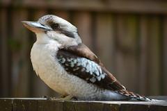 Kookaburra (andyscho2004) Tags: kookaburra kingfisher mtkembla nsw newsouthwales australia au illawarra bird nikon d7100