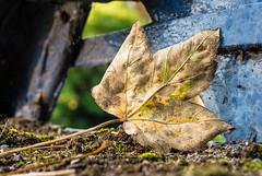 Autumn leaves (Rob Williams & Nikon D7000) Tags: fuji xpro 1 shrewsbury shropshire kingsland river severn
