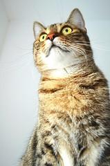 """Look at me"" (kerstinlange1) Tags: animals iloveanimals cats closeup home family domesticanimal animalhead animalphotography catphotography"