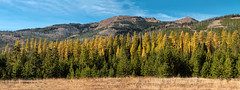 Larch Forest Panorama (chasingthelight10) Tags: events photography travel places oregon easternoregon wallowawhitmannationalforest otherkeywords larch tamarack autumn fall foliage