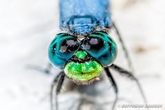 09-20-2015_17.28.11--D700-157-device-2000-wm (iSuffusion) Tags: d700 tampa tokina100mm28macro dragonfly florida insects macro nikon gibsonton unitedstates us