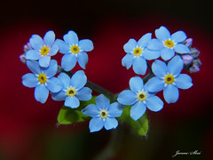 A heart of Forget-me-not ;) (janne.skei) Tags: flower flowers heart forgetmenot red blue love outdoor flora nature magic macro color closeup background garden panasonic lumix lumixfz200 fz200 norway norge wildlife light colorful macromondays art bright plant blackbackground blossom