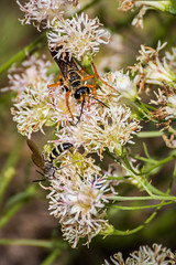 Insects (hetrickwesley) Tags: florida gainesville morningside nature outdoors park center flowers butterfly unitedstates us insect wasp canon 80d tamron 70300 di vc