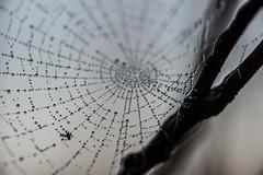 Spiderweb (schulze31) Tags: spinnennetz spiderweb schwarzweiss blackandwhite macro makro nahaufnahme morgentau morningdew