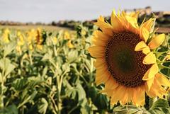 Girasol - Sunflower (i.puebla) Tags: espaa spain catalua catalonia girona empord ampurdn airelibre dof profundidaddecampo girasol sunflower campo countryside amarillo yellow verde green nature naturaleza nikon d3000 50mm