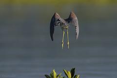 Garza Tricolor (Egretta tricolor), Tricolored Heron (Dax M. Roman E.) Tags: garzatricolor egrettatricolor tricoloredheron daxromán lagunadeoviedo