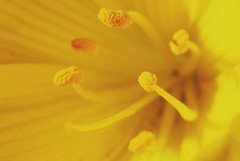 Inside a flower (amogiulietta) Tags: flowers yellow nature mysterious macromondays macro pistillo