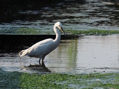 Little egret (コサギ) (Greg Peterson in Japan) Tags: ritto tsuji japan wildlife shiga rivers egretsandherons birds shigaprefecture jpn
