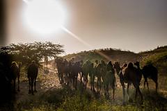 L1003360.jpg (Bharat Valia) Tags: pushkarfair bharatvalia desert rajasthanportraits bharatvaliagmailcom sheperd pushkarimages pushkarmela festivalsofindia camel pushkarcamelfair pushkar