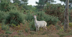 White Sika Deer (KHR Images) Tags: sika deer white wild mammal arne rspb dorset wildlife nature nikon d7100 kevinrobson khrimages