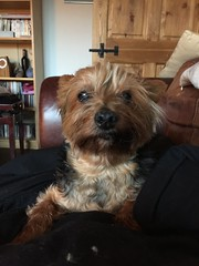 17 Oct 16 Ted. (@daz_reynolds) Tags: ted dog yorkie