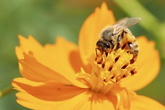 I live with pollen (dayonkaede) Tags: pollen bee animal insect olympus em1 m40150mm f28