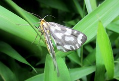 Arctiidae Family --  a tiger moth 1653 (Tangled Bank) Tags: japan japanese asia asian arctiidae family tiger moth 1654 wild nature natural insect lepidoptera osaka prefecture