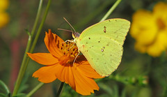 Cloudless sulphur in the cosmos (Vicki's Nature) Tags: cloudlesssulphur female yellow butterfly big spots orange cosmos wildflowers etowahriverpark canton georgia vickisnature canon s5 0913 dof bokeh