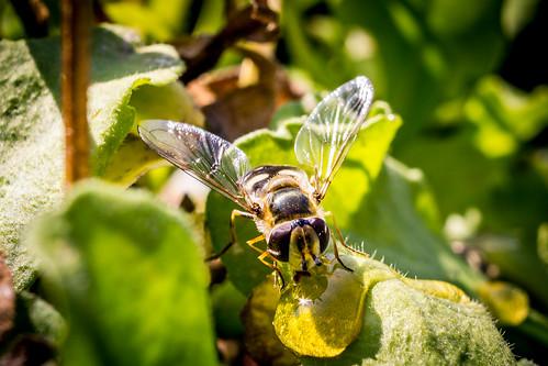 hoverflys on my balcony