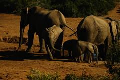 DSC03828 (Emily Hanley Photography) Tags: elephant elephants addo elephantpark nationalpark sa southafrica africa photography colour warthogs buffalo zebra waterhole rawimages raw nature naturalphotography animals animal