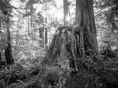 Nurse Stump (Seth GaleWyrick) Tags: red olympus omd em5 1240f28 temperaterainforrest log tree stump nursestump nursetree blackandwhite monochrome mono bw woods sucsession biomimciry