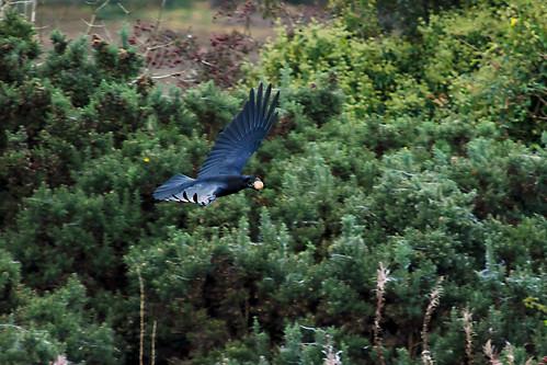 Vegetarian Raven