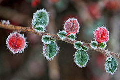 Petites feuilles givres (jjcordier) Tags: froid hiver givre feuille rouge vert