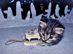 Once upon a December (pianocats16, miau...) Tags: kitten cat kitty baby cute fluffy sledge toy winter