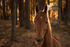 Curiosity (stevef325) Tags: approved horse equine curious morning autumn fall corral