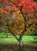 Red Autumn (Chalky666) Tags: tree trees wood woodland garden acer autumn foliage painterly art surrey rockpaper