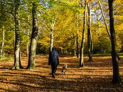 Walking through the woods (Julia Livesey) Tags: autumn chris family jez max springerspaniel staffy virginiawater englefieldgreen england unitedkingdom gb