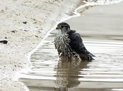 Merlin Bathing, Nauset Orleans..11/9/16 (petertrull) Tags: elements