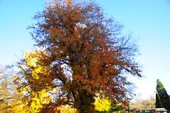 Idlewild Park, Arboretum (Narodnie Mstiteli) Tags: reno nevada deciduous hardwood armstrongredmaple idlewildpark arboretum fallcolor