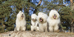 together ft Sophie, Naomi, Megan & Rhea (GdeB fotografeert) Tags: gdebfotografeert oktober2016 rheaennaomi shaggybears oes oldenglishsheepdogs withfriends flickrexplored