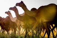 L1003279.jpg (Bharat Valia) Tags: pushkarfair bharatvalia desert rajasthanportraits bharatvaliagmailcom sheperd pushkarimages pushkarmela festivalsofindia camel pushkarcamelfair pushkar