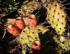 Opuntie / tulip prickly pear (Opuntia phaeacantha var. camanchica) (HEN-Magonza) Tags: kaktus botanischergartenmainz mainzbotanicalgardens rheinlandpfalz rhinelandpalatinate deutschland germany cactus opuntie tulippricklypear opuntiaphaeacanthavarcamanchica flora natur nature frucht fruit