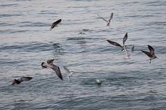Lady Fish Attacking (Laurie-B) Tags: america american florida fortdesoto northamerica northamerican pinellascounty usa unitedstatesofamerica