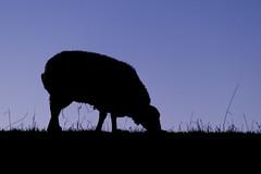 The Black sheep (Nederland in foto's) Tags: nederlandinfotos nederland netherlands nikon dordrecht paulvandevelde pdvandevelde padagudaloma outdoorphotography outdoor natuurfotografie nature naturephotographer sheep schaap animal backlight tegenlicht biesbosch