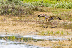 Buzzard / Buizerd (rob.bremer) Tags: buizerd buteobuteo buzzard bird birdsinflight noordhollandsduinreservaat kennemerduinen duinen dunes duinlandschap doornvlak vogel bif birdinflight birdofprey