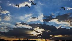Sunset Flight Mulvane, KS (hz536n/George Thomas) Tags: 2008 summer kansas oklahoma composite copyright canon5d sky geese flying sunset cs5 bird