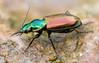 Agonum sexpunctatum (johnhallmen) Tags: insect macro coleoptera carabidae groundbeetle canon760d canonmpe65 canon270ex